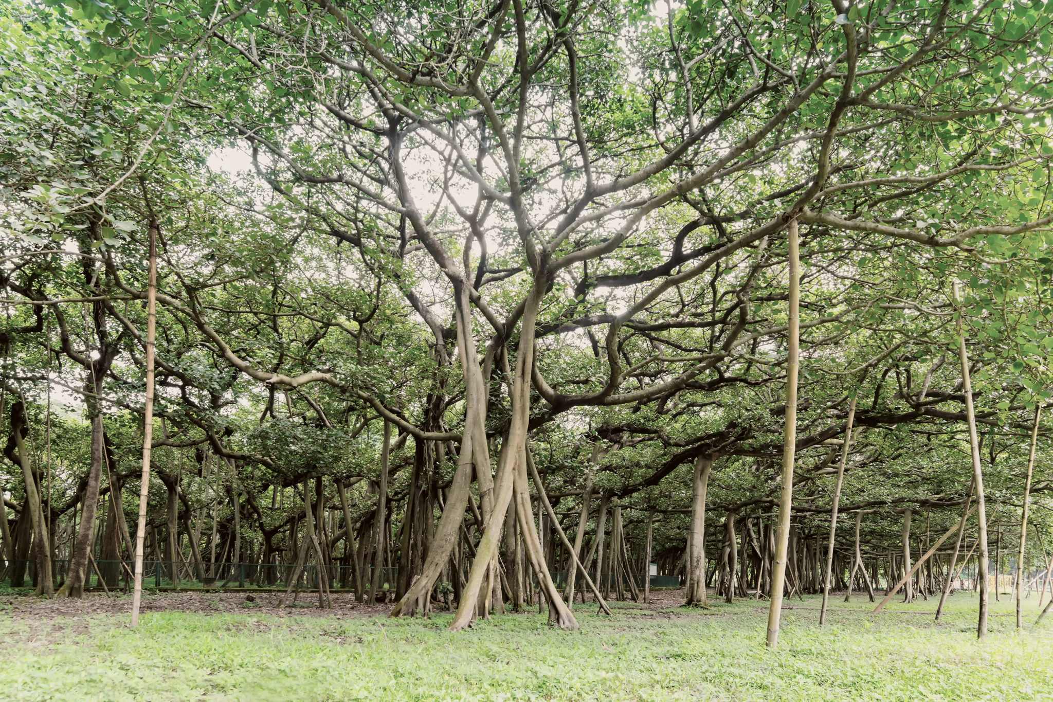 Nature Knows The Great Banyan Tree Tcm World